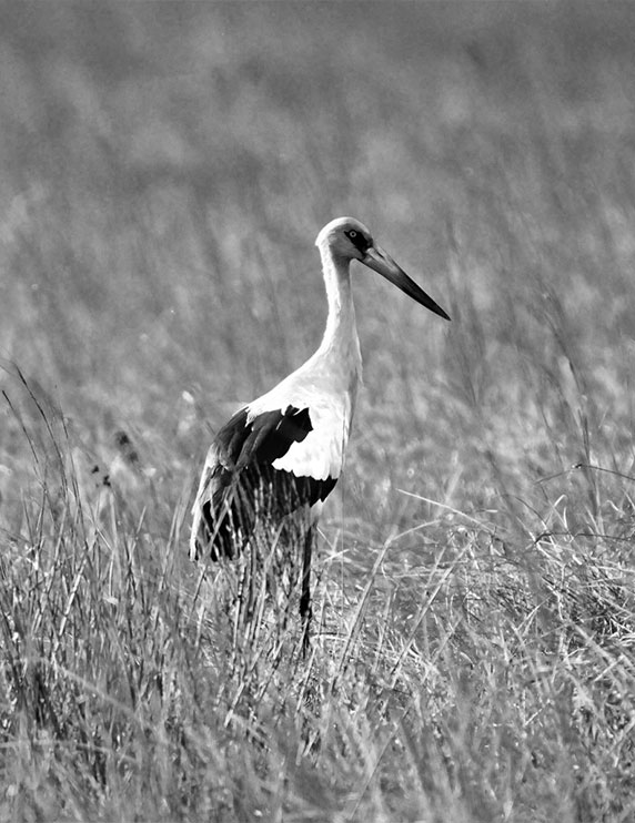 photo noir blanc cigogne