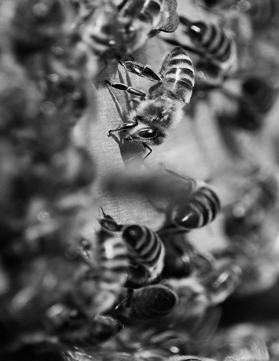 photo noir blanc abeilles